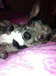 Hercule, chien Chihuahua