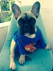 Hercule, chien Bouledogue français