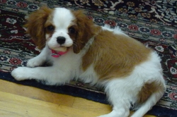 Herise, chien Cavalier King Charles Spaniel