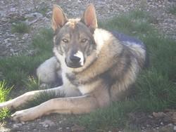 Herkan, chien Chien-loup tchèque