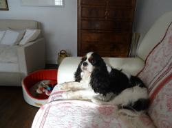 Herkimer, chien Cavalier King Charles Spaniel