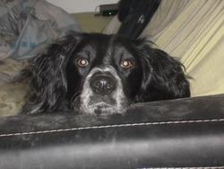 Herko, chien Épagneul breton
