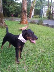 Herman, chien Jagdterrier