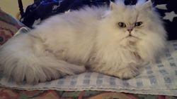 Hermes, chat Chinchilla Persan