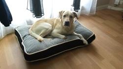 Hermes, chien Labrador Retriever