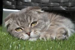 Hermes, chat Scottish Fold