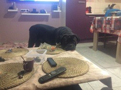 Hermes, chien Cane Corso