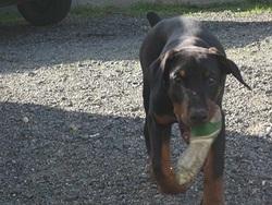 Hermes, chien Dobermann