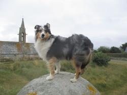 Hermès, chien Berger des Shetland