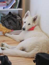 Hermès, chien Berger blanc suisse
