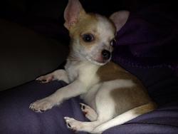 Hermès, chien Chihuahua