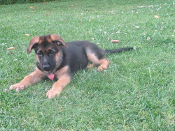 Hermes, chien Berger allemand