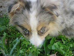Hermès, chien Berger australien