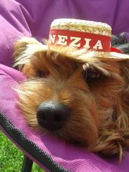 Hermès, chien Yorkshire Terrier