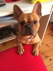Hermès, chien Bouledogue français