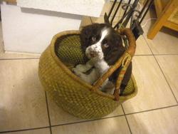 Hermes, chien Springer anglais