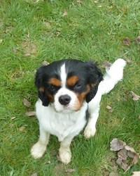 Hermès, chien Cavalier King Charles Spaniel