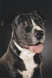 Hermès, chien American Staffordshire Terrier