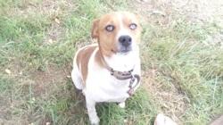 Hermes, chien Jack Russell Terrier