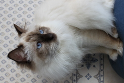 Hermès, chat Birman