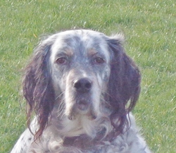 Hermes, chien Setter anglais