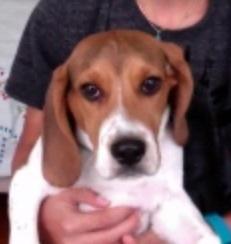 Hermès Chien, chien Beagle