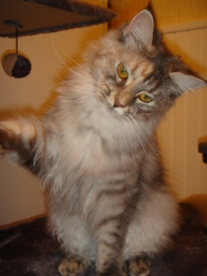 Hermesse, chat Maine Coon