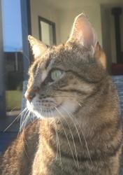 Hermine, chien Terre-Neuve