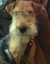 Harrods, chien Lakeland Terrier