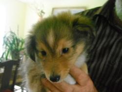Hermine, chien Berger des Shetland