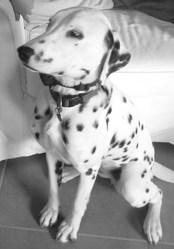 Hermine, chien Dalmatien
