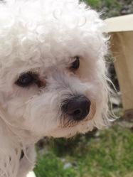 Hermine, chien Bichon à poil frisé