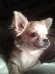 Hermine, chien Chihuahua