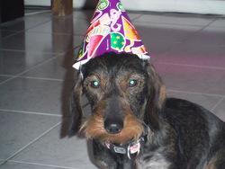 Hermione, chien Teckel