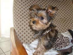 Hermione, chien Yorkshire Terrier