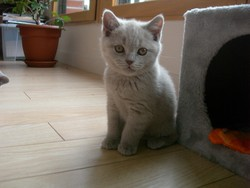 Hermione, chat British Shorthair