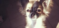 Hermione, chien Chihuahua