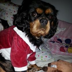 Hermione, chien Cavalier King Charles Spaniel
