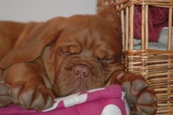 Hermione, chien Dogue de Bordeaux