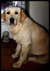 Hermione Music Angels Of Tara, chien Golden Retriever