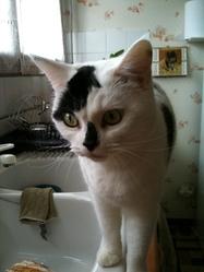 Hermyone, chat Européen