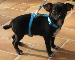 Hérod, chien Chihuahua