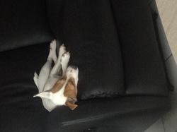 Héroine, chien Jack Russell Terrier