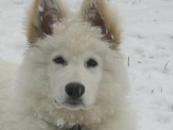 Heros, chien Berger blanc suisse