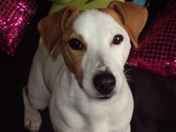 Heros, chien Jack Russell Terrier