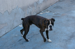Heros, chien Boxer