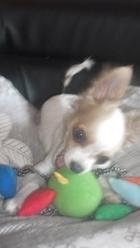 Heros, chien Chihuahua