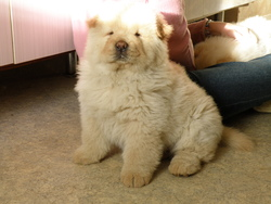 Héros, chien Chow-Chow