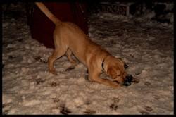 Heros, chien Labrador Retriever