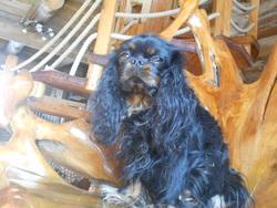 Herra, chien Cavalier King Charles Spaniel